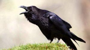 raven_703149